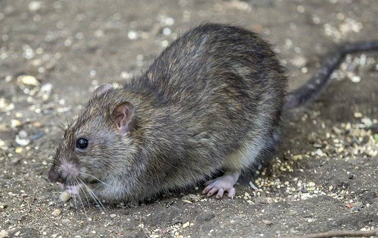 a norway rat crawling on the ground