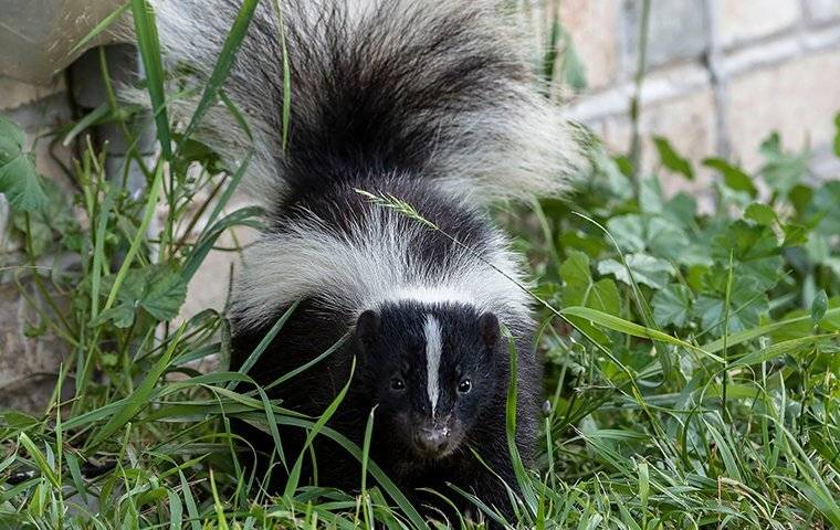 a skunk in a waltham yard