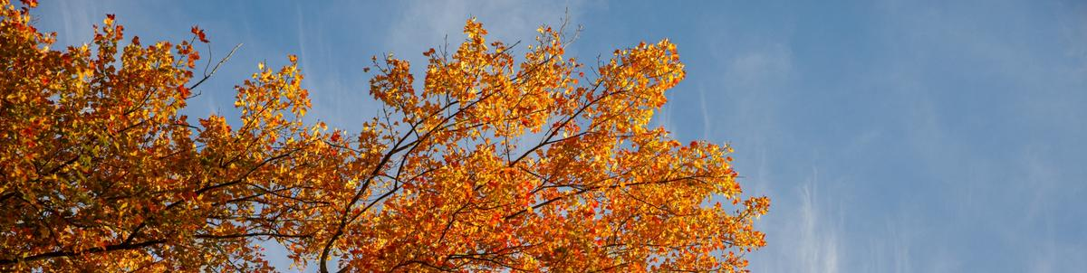 Orange falls leaves are highlighted against the blue sky background