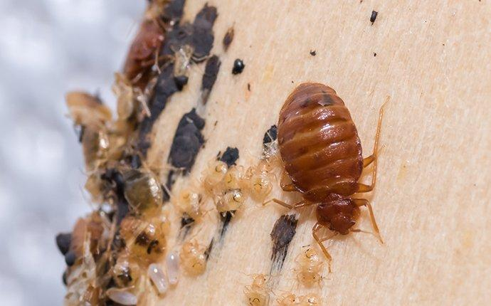 bed bug and larvae crawling on furniture