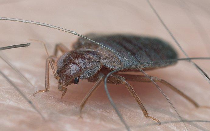 bed bug on an arm