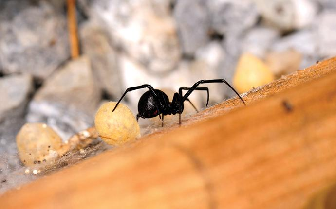 a black widow spider bring danger to a home