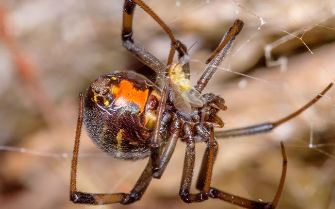 a brown widow spider in its web