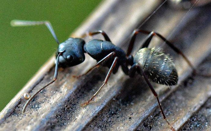 a carpenter ant on a grooved surface