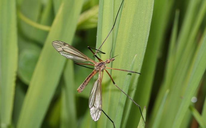 crane fly on a blade of grasee