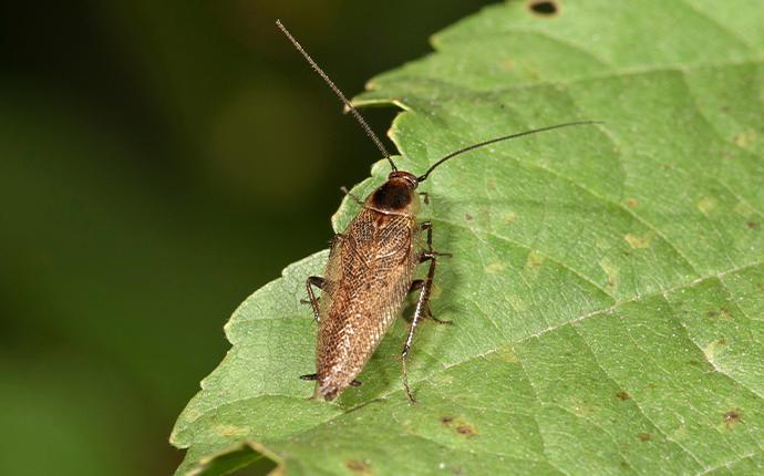 german cockroach on a leaf
