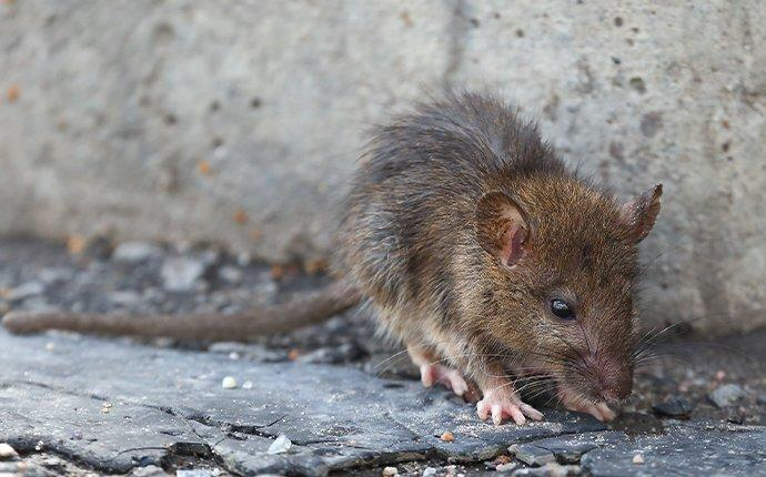 a norway rat crawling outside of a home
