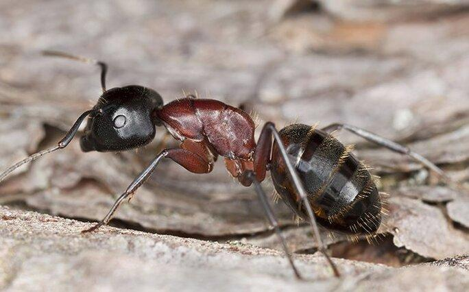 carpenter ant crawling on wood at a home