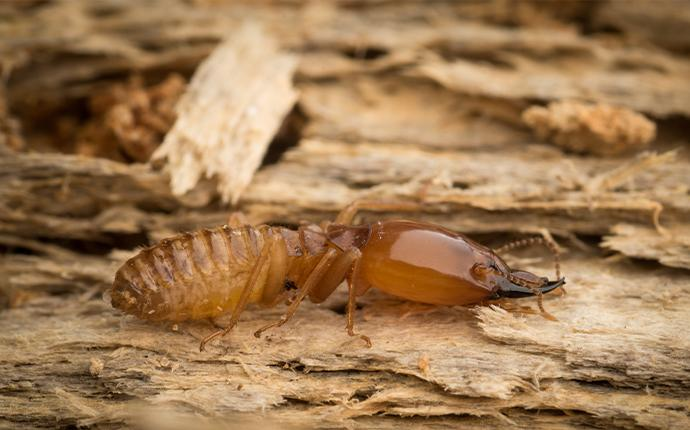 close up of a termite on damaged wood