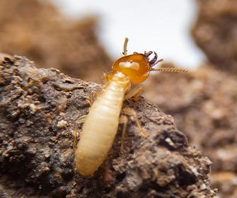 a termite crawling on rock