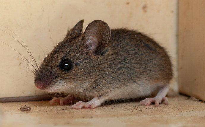 house mouse infesting a pantry
