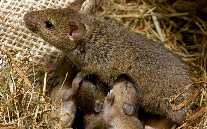 a house mouse with young in a nest