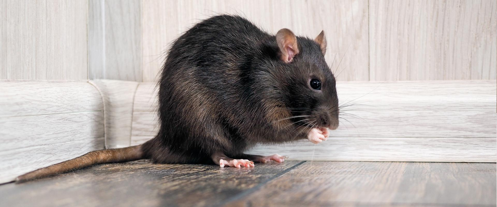a rat on the floor of a home