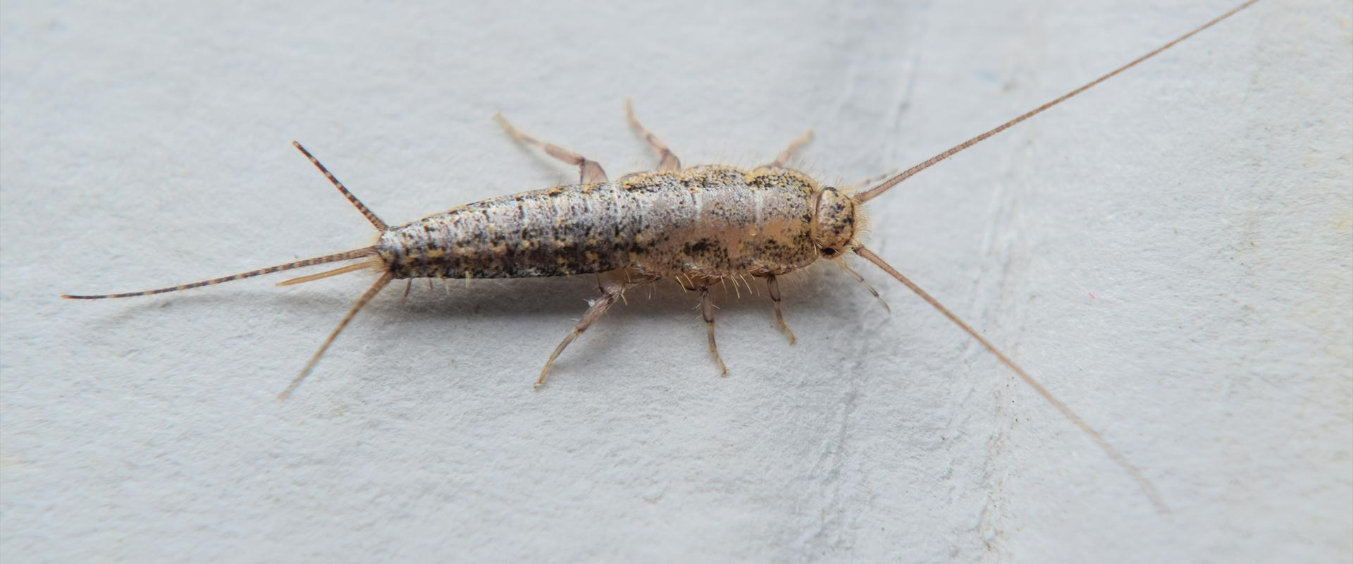 a close up of a silverfish