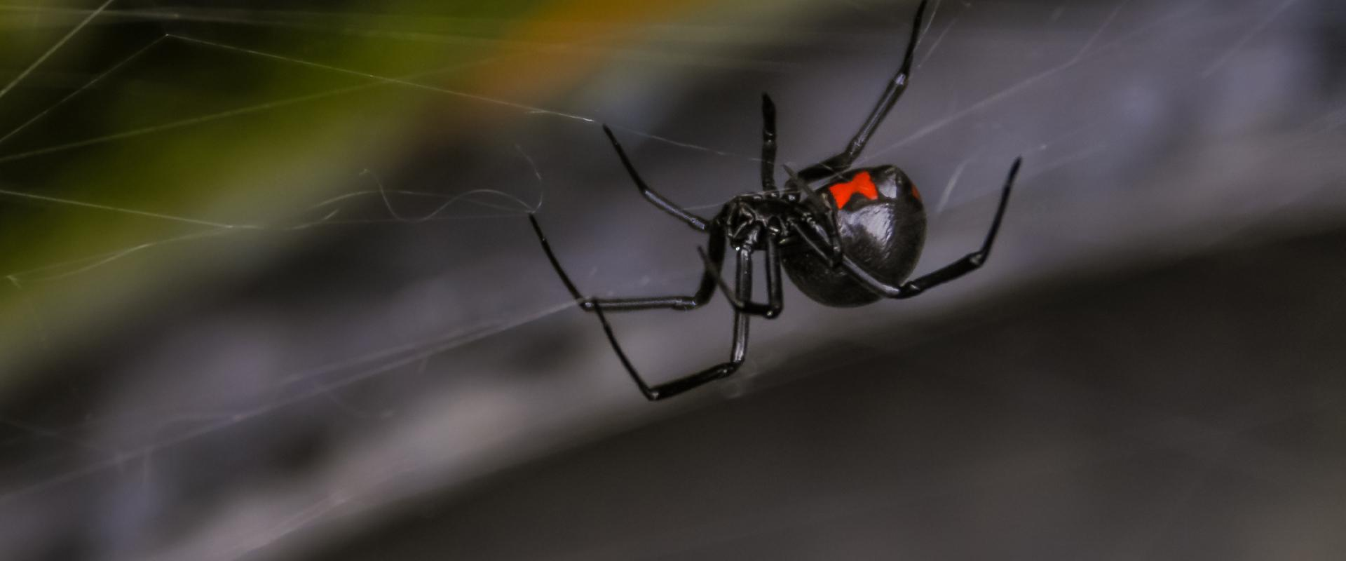black widow spider in its web