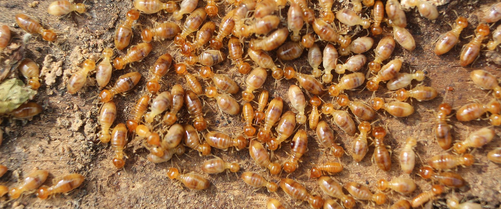 close up of termites on wood