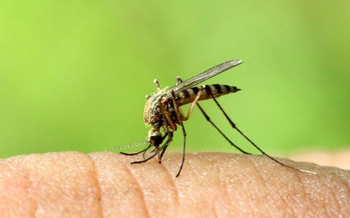 a mosquito biting skin in los angeles country california