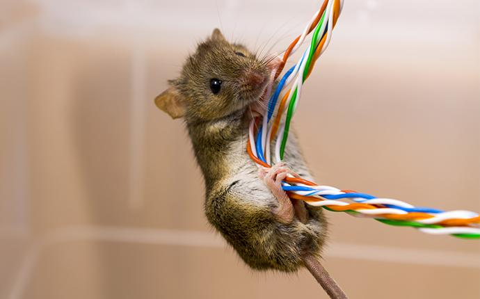 a mouse chewing electical wires in a bea home