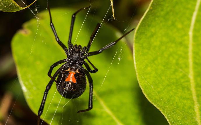 a close up of a black widow spider