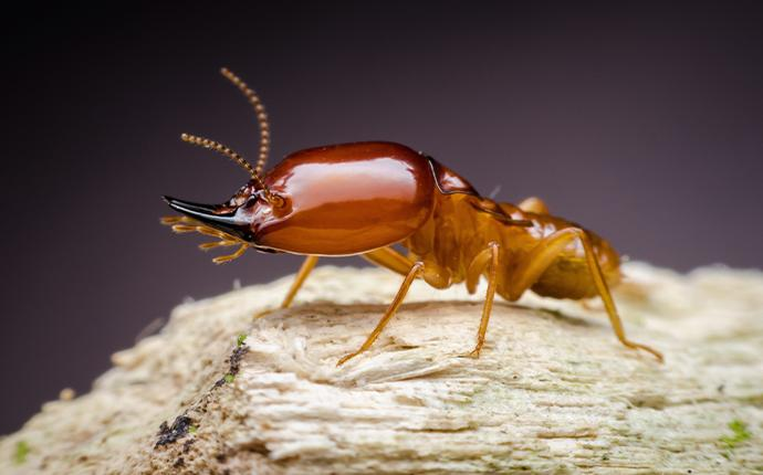 a close up of a termite