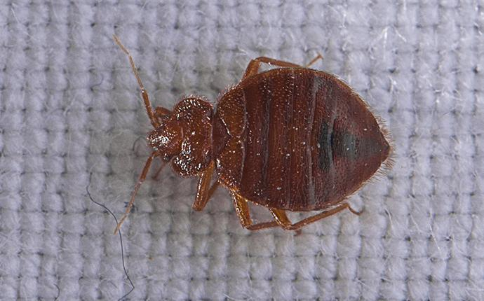 a bed bug crawling on a mattress