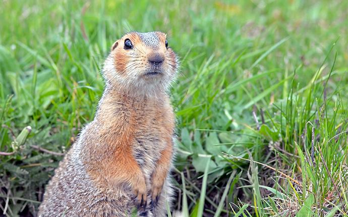 a gopher standing in the grass