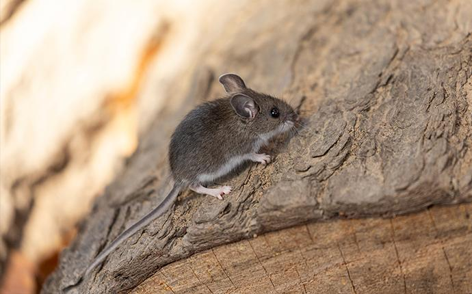 a small brown mouse on a log