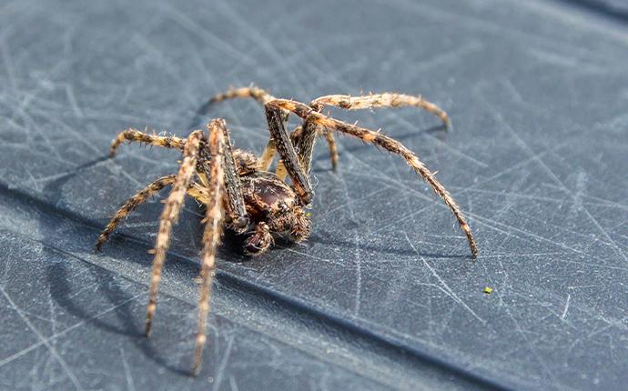a close up of a brown spider