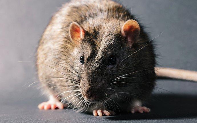 a rat crawling in a home in irvine california