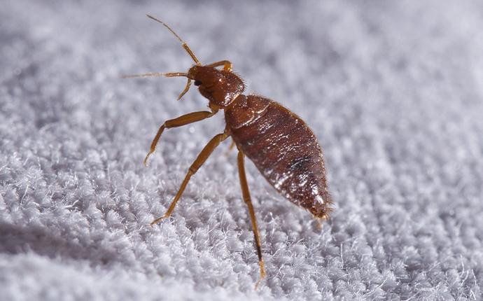 a bedbug on a mattress