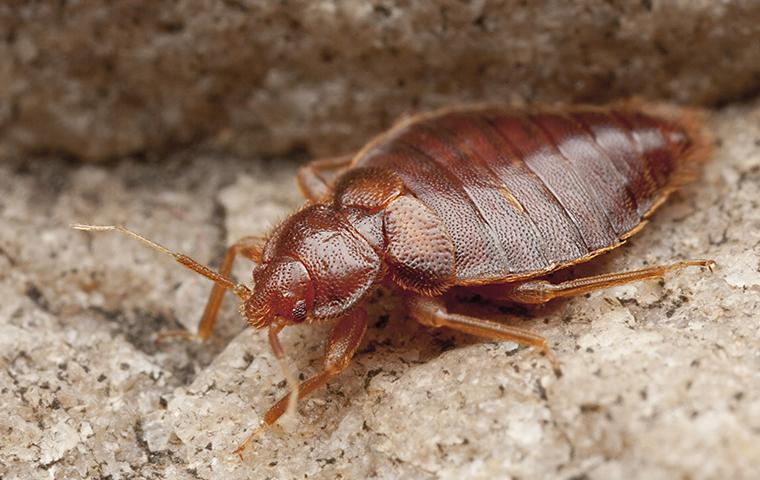 a bed bug on brown gravel