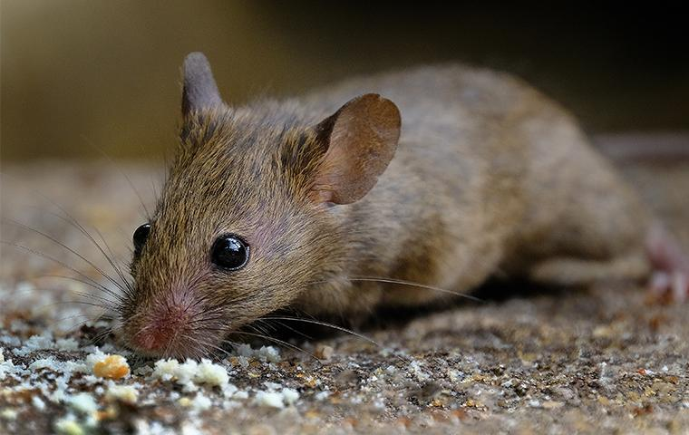 a mouse on brown gravel