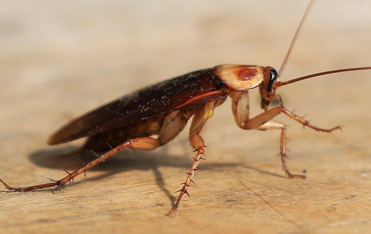 an american cockroach on a table