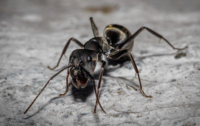 carpenter ants crawling on a counter