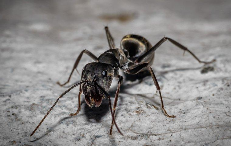 a carpenter ant on a rock