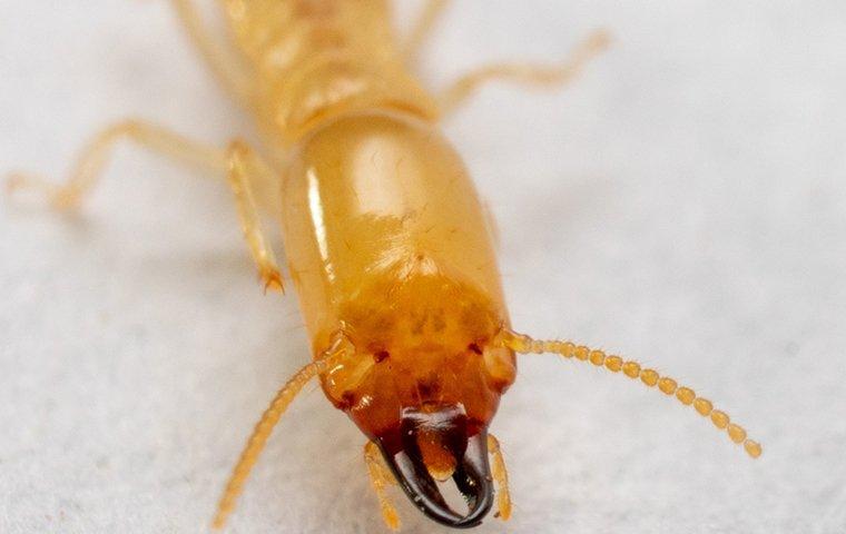 termite face