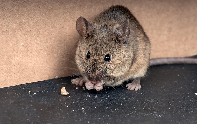 mouse eating crumbs off floor