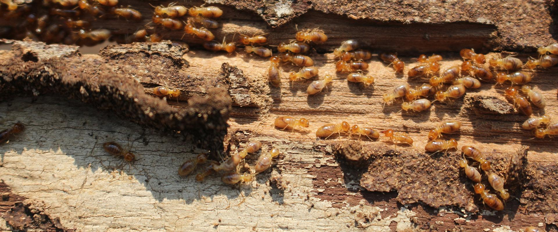 termites on a wooden log