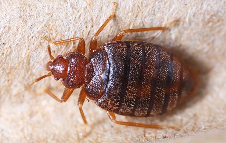 bedbug on mattress box spring