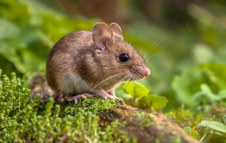 a mouse resting on the forest floor