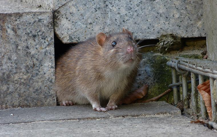 a brown rat coming out of hole