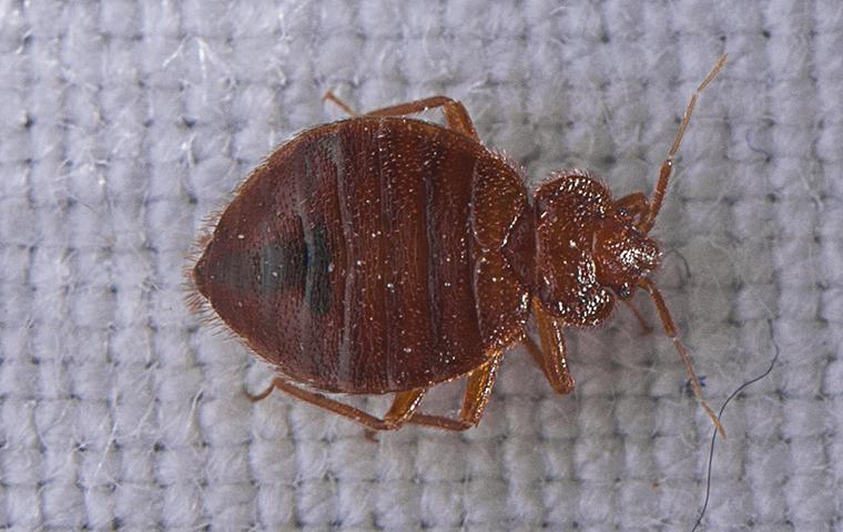 a bedbug o a mattress