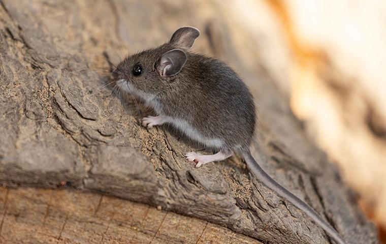 a mouse on a log