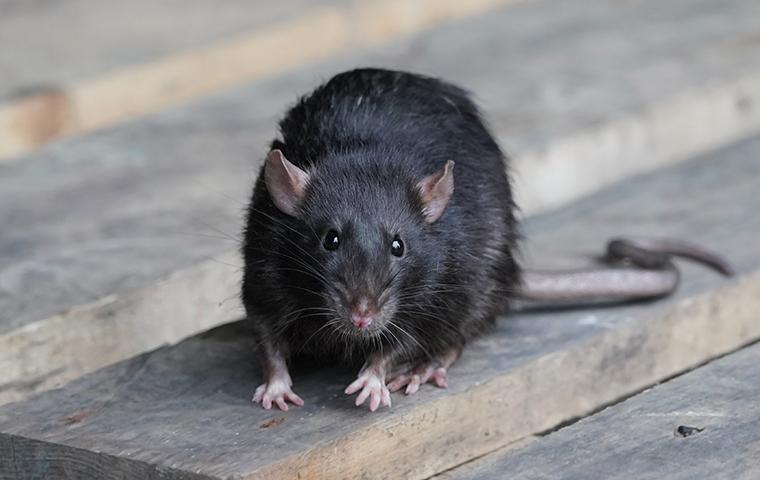 a rat sitting on a wooden table