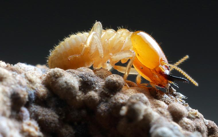 a termite on a rock