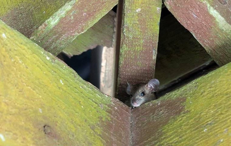 rat crawling in rafters
