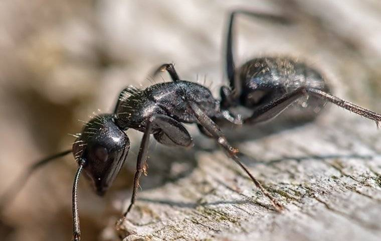 a carpenter ant crawling and eating on a piece of wood