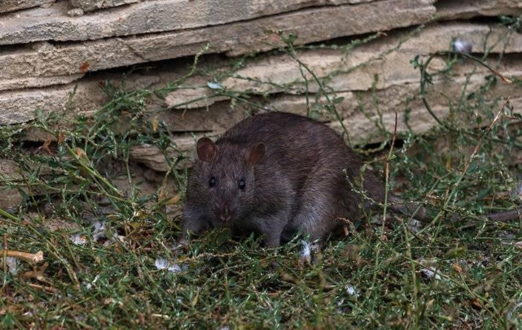 rat next to a large rock