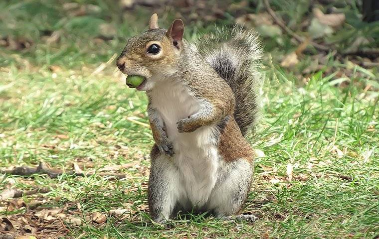 a grey squirrel with an acorn