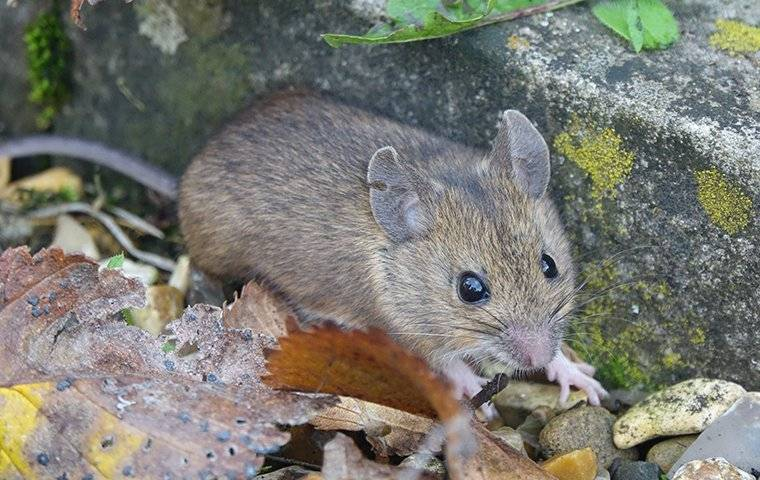 a house mouse trying to get inside a home